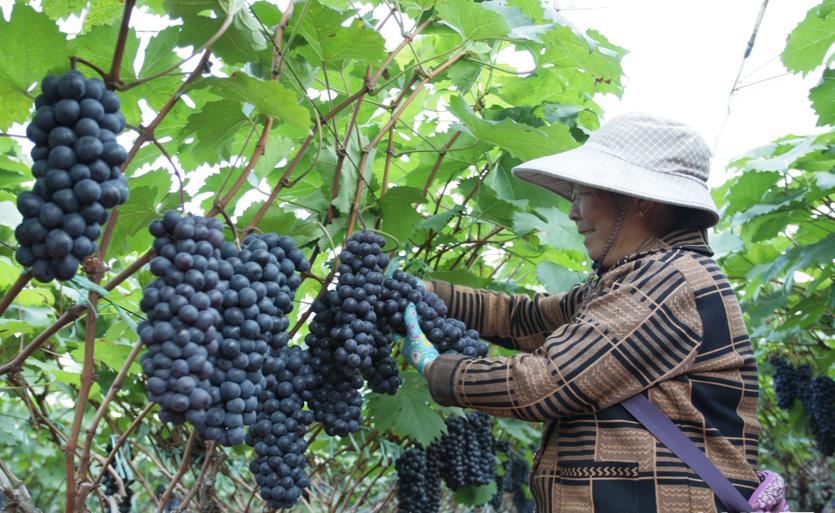 云南建水:冬季葡萄迎丰收