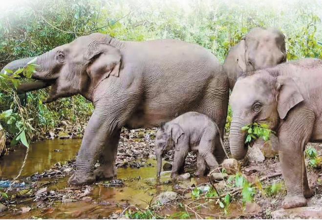 """普洱市思茅区保护改善亚洲象栖息地 建设""""人象和谐""""绿色家园"""