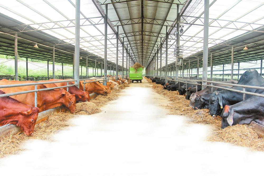 """普洱市抓住""""牛机遇"""" 壮大牛产业"""